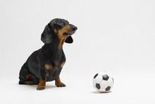 Dog Of Breed Of Dachshund, Bla...