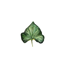 Watercolor Illustration Ivy Leaf. Isolated On White