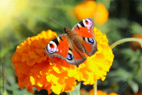 Fotobehang Vlinder macro of butterfly collecting nectar on the marigolds