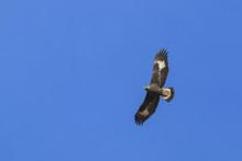 Golden Eagle (Aquila Chrysaeto...
