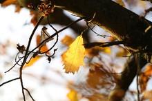 Autumn / The Last Yellow Leaf