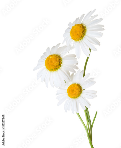 Foto op Canvas Madeliefjes Three Chamomiles isolated on white background