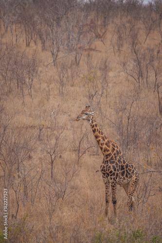 Staande foto Afrika Giraffe