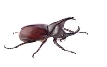Rhinoceros Beetle, Rhino Beetle, Hercules Beetle, Unicorn Beetle, Horn Beetle Isolated