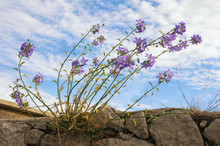 Blossoming Bellflowers (Campan...
