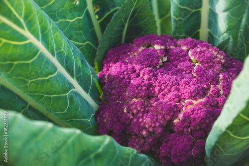 Beautiful cauliflower in the garden. Selective focus.