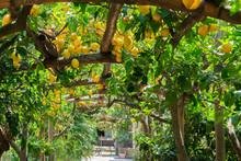 Fruits In Lemon Garden Of Sorr...