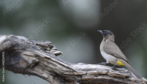 Fotografering Blackeyed bulbul ( (Pycnonotus barbatus) on perch, kwazulu Natal, South Africa