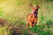Smiling Dachshund Dog Running Towards