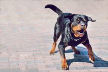 Angry Rottweiler Dog Barking. ...