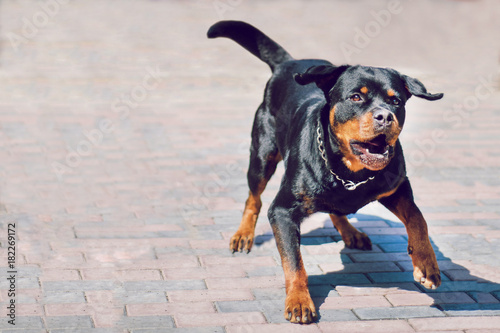 Angry rottweiler dog barking. Dog is protecting its territory. Wallpaper Mural