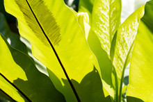 Closeup An Asplenium Nidus Leaf