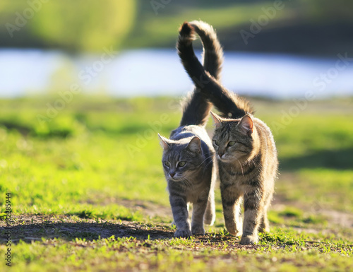 lovers couple striped cats walk together on green meadow in Sunny day lifting the tails Wall mural