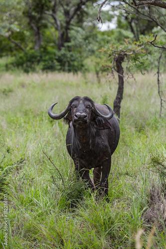 Fotobehang Buffel Cape Buffalo