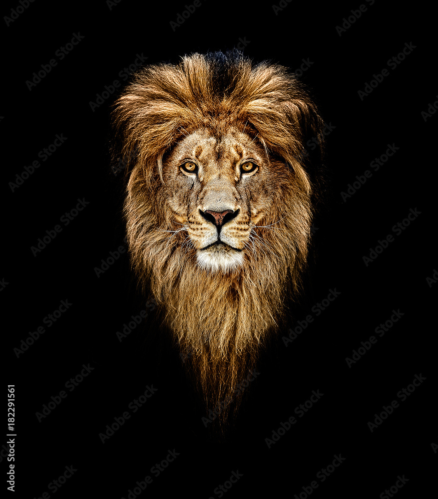 Fototapeta Portrait of a Beautiful lion, lion in dark. Portrait of a leader. king