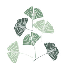 Vector Illustration Ginkgo Biloba Leaves. Nature Background With Leaves.
