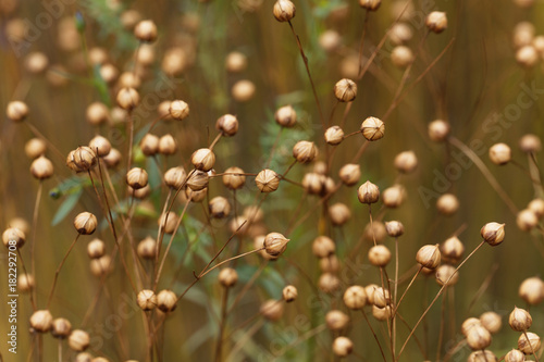 Obraz Dry seed capsules of common flax (Linum usitatissimum) - fototapety do salonu