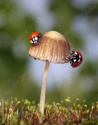 Божьи коровки сидят на грибе
