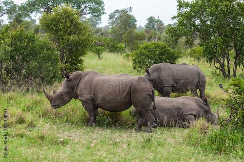 Fényképezés  White Rhinoceros