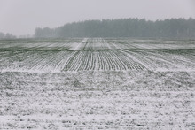 Agricultural Field Of Winter W...