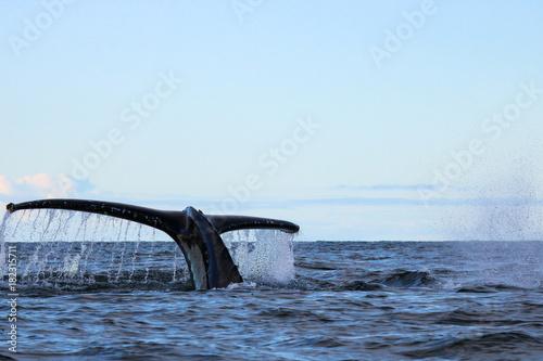 Poster Antarctica Humpback whale, Antarctic peninsula