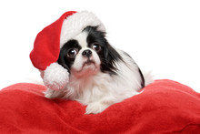 Lovely Japanese Chin Dog In A ...