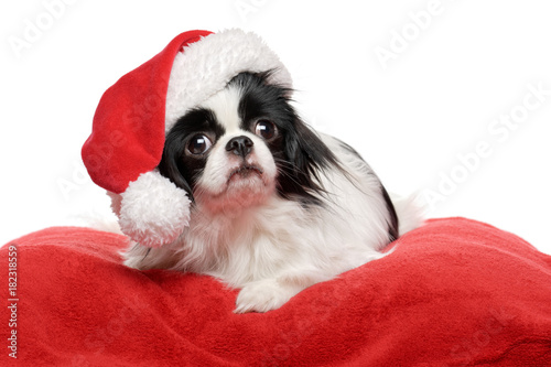 Lovely Japanese Chin dog in a Santa hat is lying on a red plush bed cover Fototapet