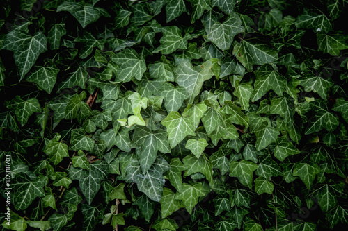Fototapeta Ivy Texture, green leaves background, leaf pattern