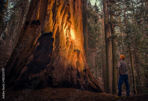 Wall Murals Forest Exploring Giant Sequoia Forest