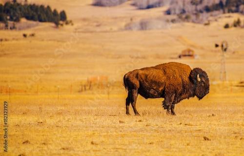 Staande foto Buffel Lonely American Bison