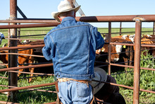 Two Cowboys Working With Steer...