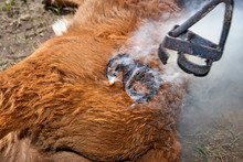 Brand Applied To A Steer Using A Branding Iron