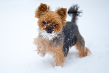Small Dog In Snow. Yorkshire T...