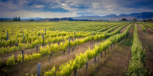 Vineyard Marlborough Area New ...