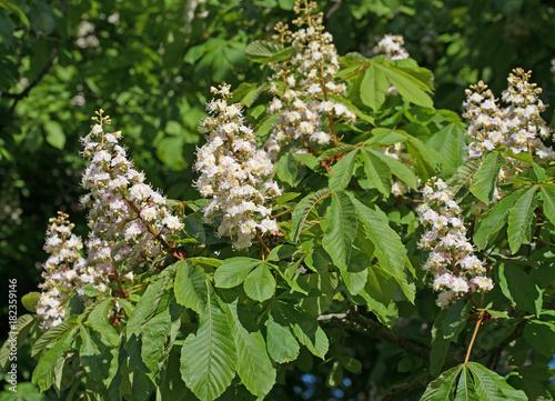 Kastanienblüten, Kastanienbaum