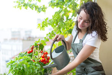 Young Woman Watering Tomatoes On Her City Balcony Garden - Nature And Ecology Theme