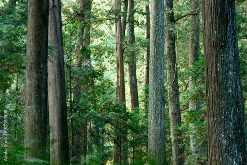 Photo  大きな杉の木の森