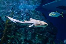 Zebra Shark (Stegostoma Fasciatum) Swimming