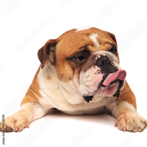 Photo  grumpy english bulldog is sticking out tongue to side