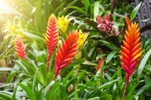 Flowering Vriesea Plants In Th...