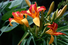 Three Flowers Of A Hemerocallis./Three Flowers Of A Day Lily France Halls Brightly And Contrastly Look Among Green Leaves.