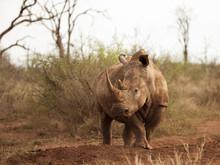 Female Southern White Rhino In...