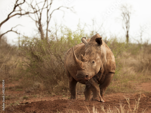 Fényképezés  Female Southern White Rhino in Hlane RNP, Swaziland, Africa