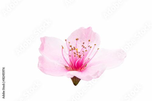 Keuken foto achterwand Kersenbloesem Sakura flowers isolated
