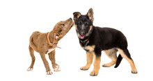 Two Funny Puppies Playing Toge...