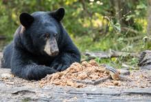 Bear Sharing Dinner