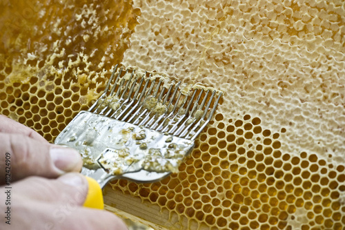 Uncapping of honeycombs, Freiburg im Breisgau, Black Forest, Baden-Wuerttemberg, Germany