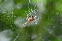 European Garden Spider. Araneu...
