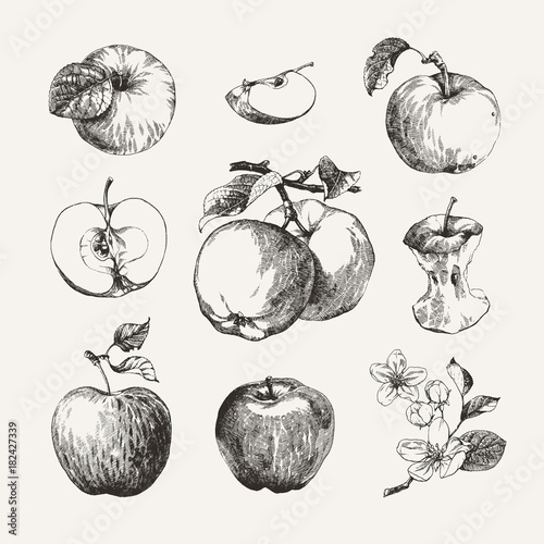 Fotografie, Obraz Ink drawn collection of apples