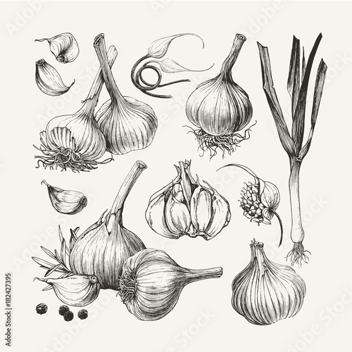 Photo Ink drawn collection of garlic